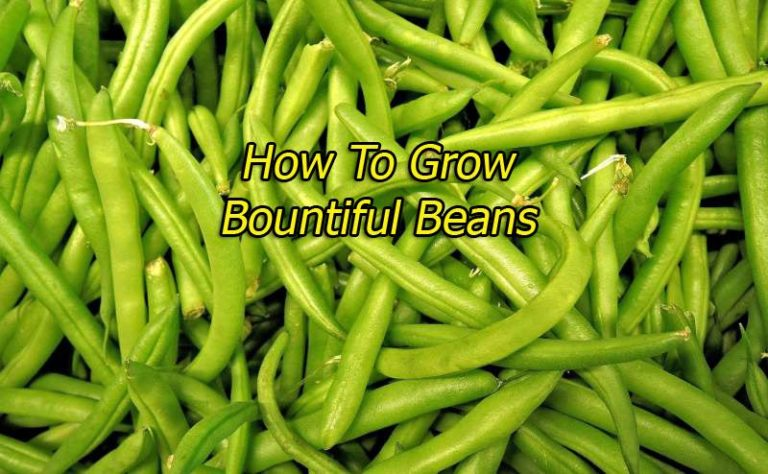 How To Grow Bountiful Beans