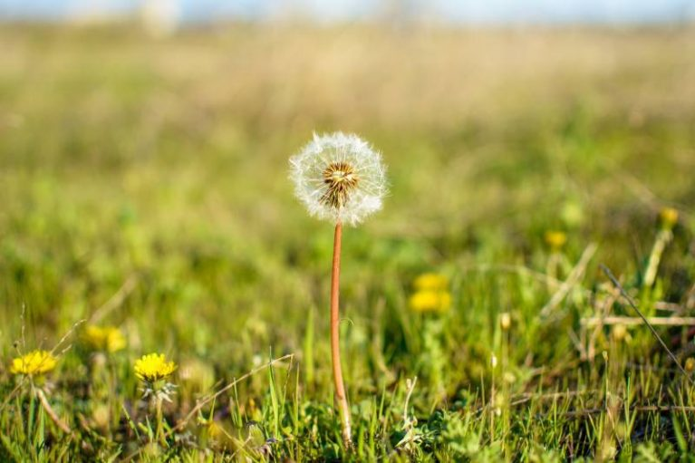Foraging For Edibles – Dandelion