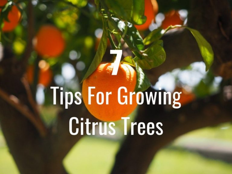 7 Tips On How To Grow Citrus Trees