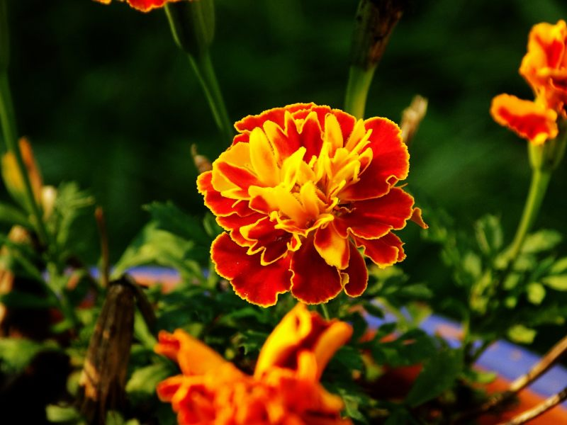 Plant Marigolds With Vegetables