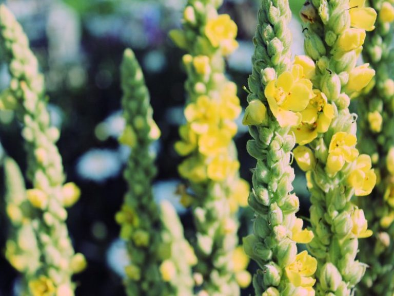 Mullein – Medicinal Herb