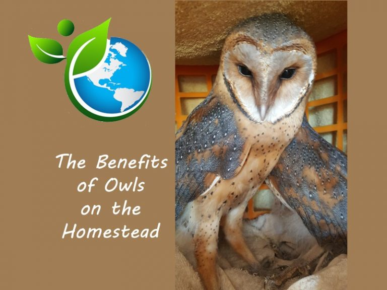 Benefits of Owls On The Homestead