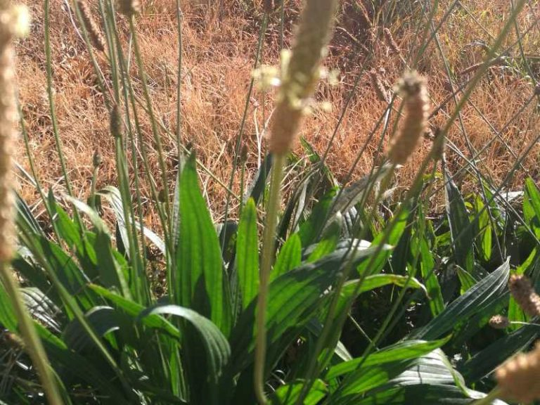 Plantain – Weed or Miracle Plant?